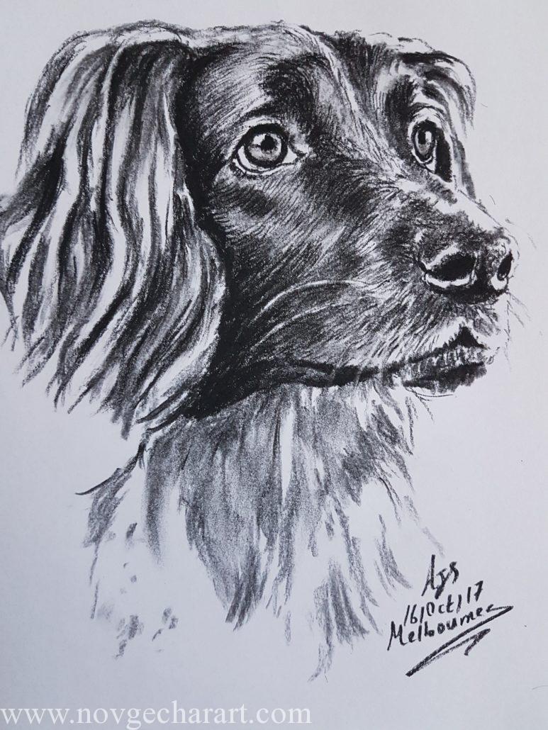 Pet Portrait Drawing Melbourne Dog Sketch